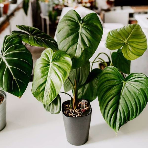 Philodendron McDowell