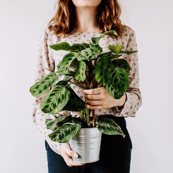 Marantha roślina roku 2021