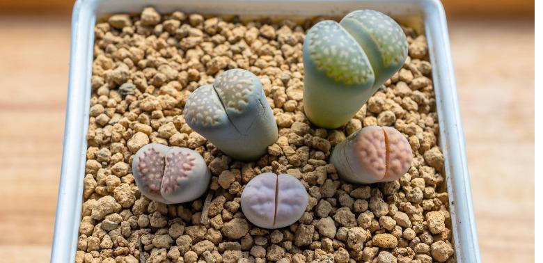 Najdziwniejsze rośliny doniczkowe